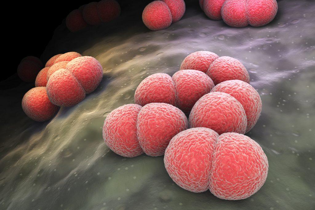 Scanning electron microscope of meningococcal bacteria